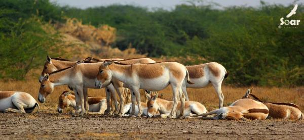 Asiatic Wild Ass - Little Rann of Kutch - Soar - Inala Nature Tours