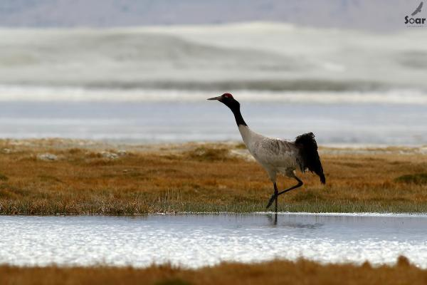 Bhutan - Black-necked Crane - Soar  - Inala Nature Tours