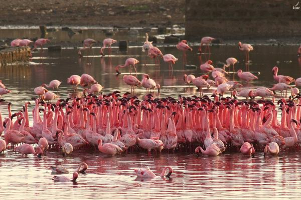 Flamingo's - Soar - India - Inala Nature Tours