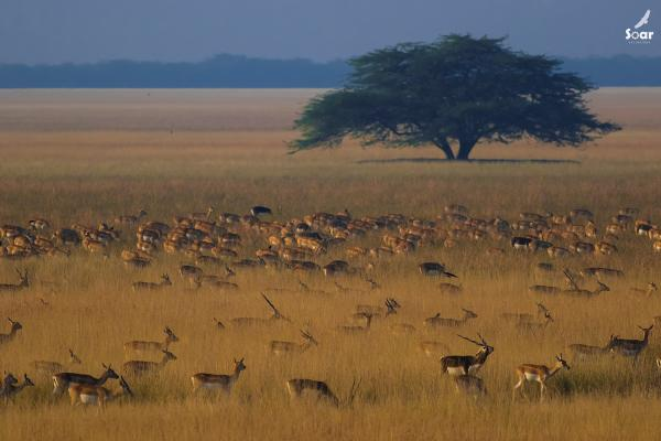 Blackbucks Herd - Soar - Inala Nature Tours