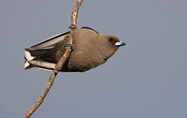 Chris Tzaros - Inala Nature Tours - Dusky Woodswallow