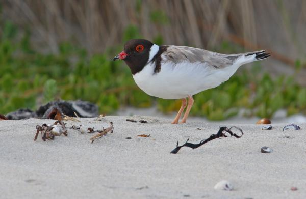 Chris Tzaros - Inala Nature Tours - Hooded Plover