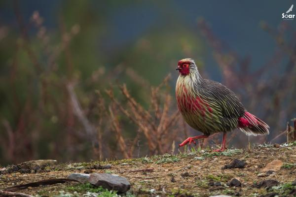 Blood Pheasant - Bhutan