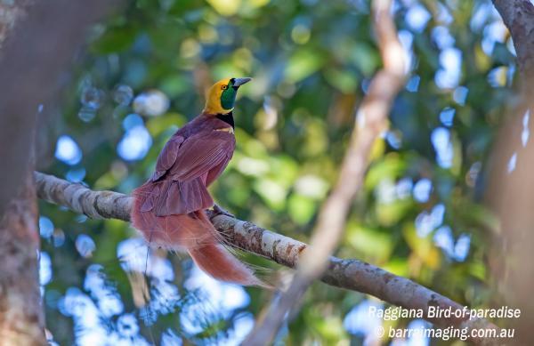 Raggiana Bird Of Paradise - Geoff Jones - Inala Nature Tours