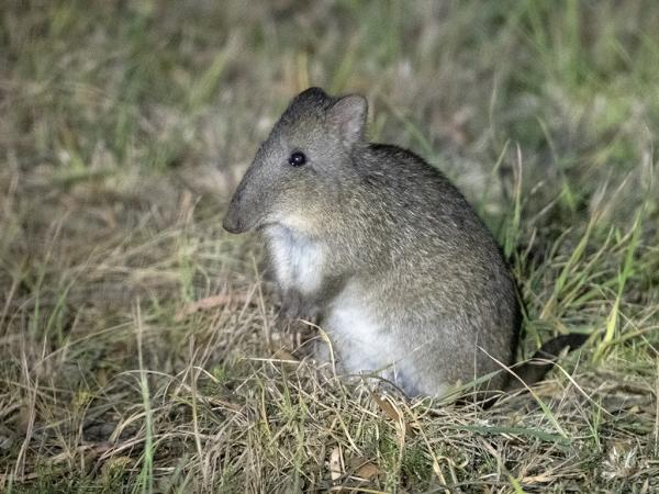 Long-nosed Potoroo - Ken and Mary Campbell - Inala Nature Tours