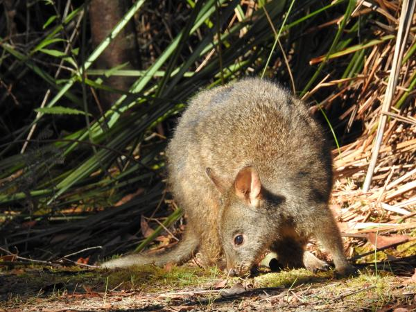 Tasmanian Pademelon - Cat Davidson - Inala Nature Tours