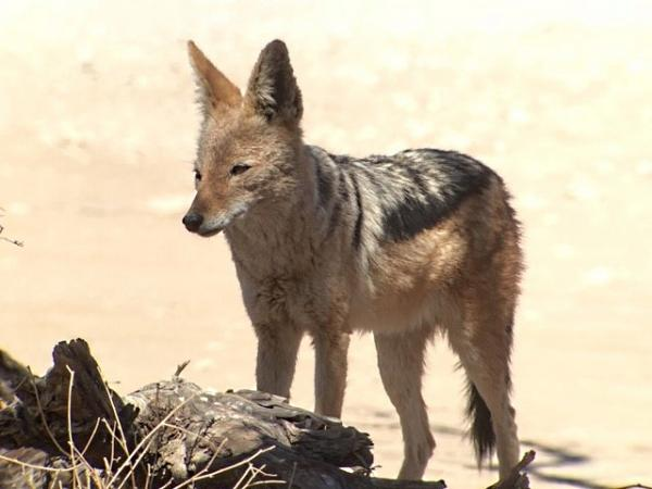 Black backed Jackal - Tonia Cochran - Inala Nature Tours
