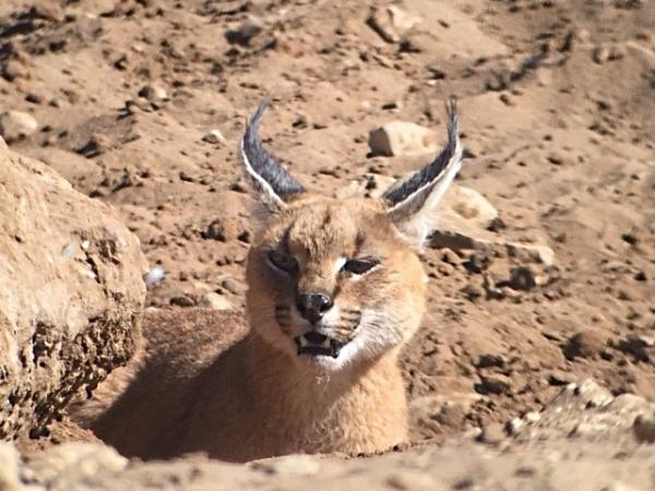 Caracal - Tonia Cochran - Inala Nature Tours