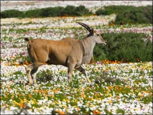 Common Eland & wildflowers in the Postberg section