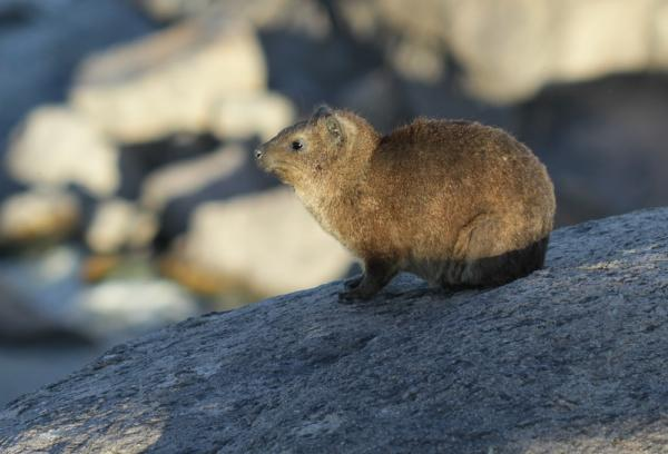 An 'enigmatic' Dassie by Richard White