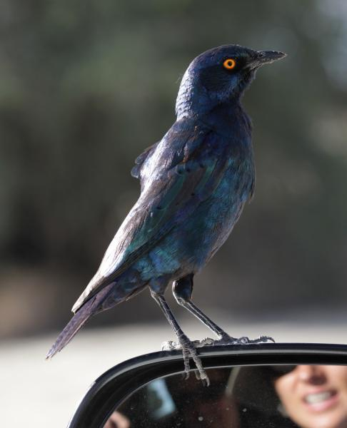A friendly Cape Glossy Starling by Richard White