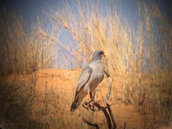 Pale chanting Goshawk - Tonia Cochran - Inala Nature Tours