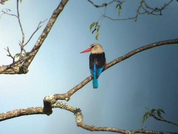 Grey-headed Kingfisher - Uganda - Tonia Cochran - Inala Nature Tours
