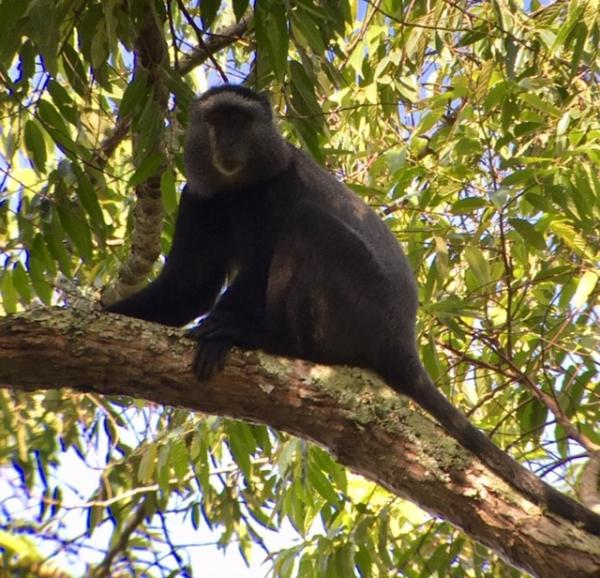 Blue Monkey - Uganda - Tonia Cochran - Inala Nature Tours
