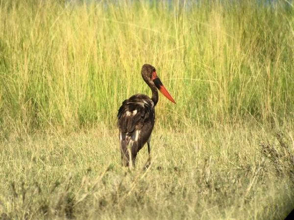 Saddle-billed Stork - Uganda - Tonia Cochran - Inala Nature Tours