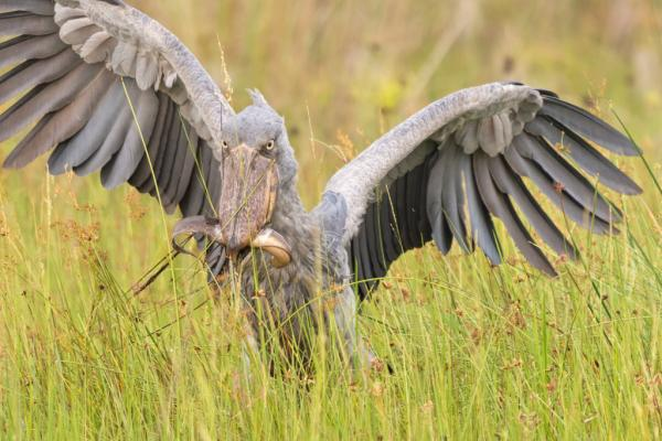 Shoebill - Bronwen Scott - Inala Nature Tours