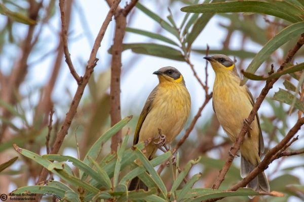 Grey-headed Honeyeater - Alfred Schulte - Inala Nature Tours