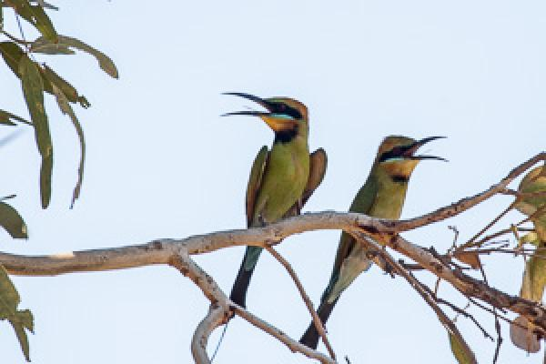 Rainbow Bee-eater - Alfred Schulte - Inala Nature Tours