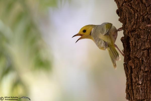 White-plumed Honeyeater - Alfred Schulte - Inala Nature Tours