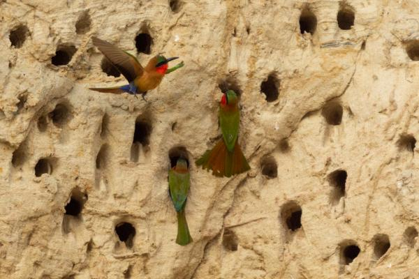 Red-throated Bee-eaters - Bronwen Scott - Inala Nature Tours