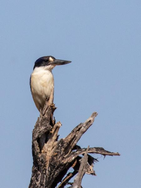Forest Kingfisher - Alfred Schulte - Inala Nature Tours