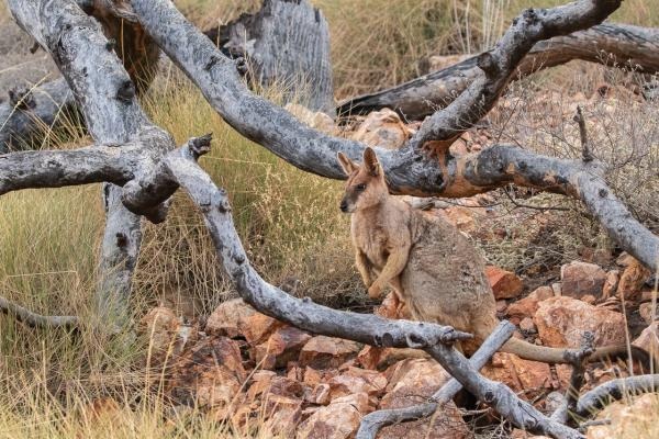 Purple-necked Rock Wallaby - Alfred Schulte - Inala Nature Tours
