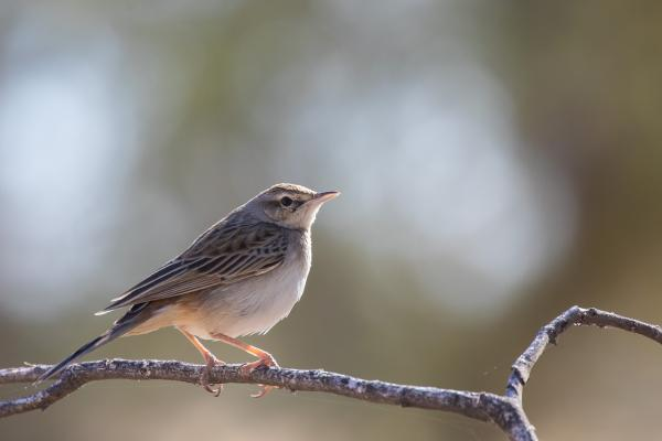 Rufous Songlark - Alfred Schulte - Inala Nature Tours