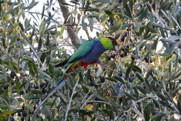 Red Capped Parrot - Robyn Pickering - Inala Nature Tours