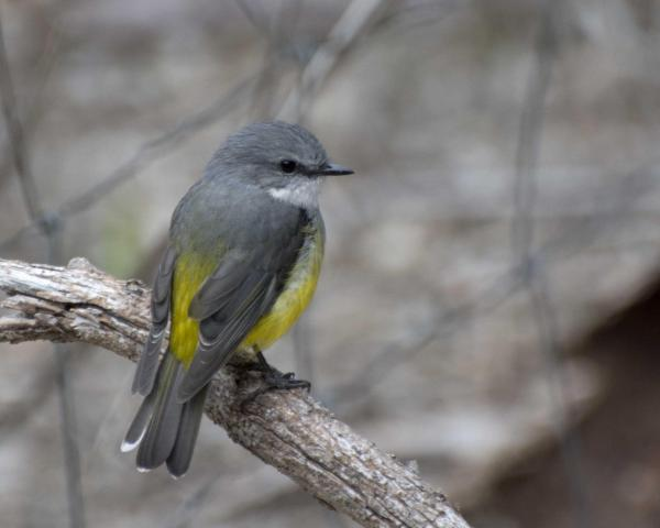 Western Yellow Robin - Robyn Pickering - Inala Nature Tours