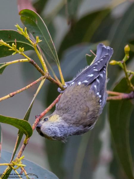 40 Spotted Pardalote - Alfred Schulte - Inala Nature Tours