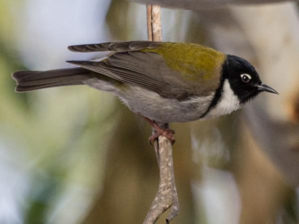 Ramit Singal - Black-headed Honeyeater - Inala Nature Tours