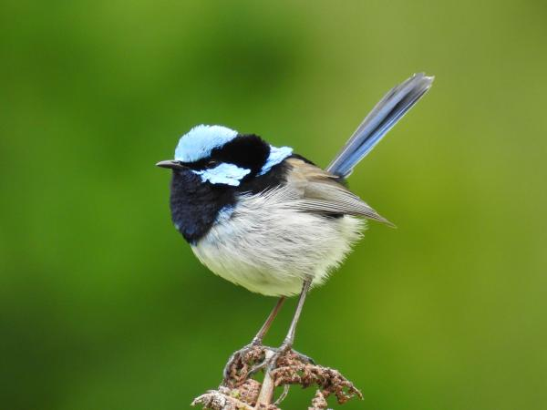 Superb Fairy Wren - Inala Nature Tours - Cat Davidson