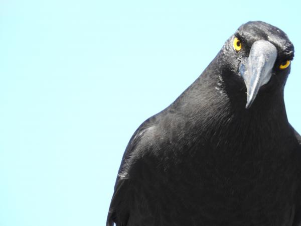 Black Currawong - Inala Nature Tours - Cat Davidson