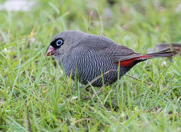 Beautiful Firetail - Inala Nature Tours - Dennis Braddy