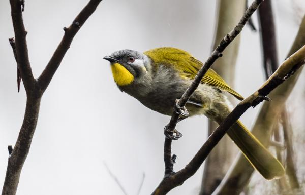 Dennis Braddy - Yellow-throated Honeyeater - Inala Nature Tours