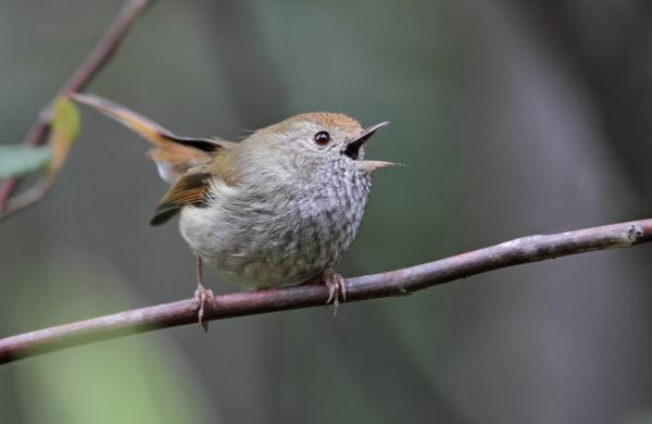 Tasmanian Thornbill - Inala Nature Tours - Chris Tzaros