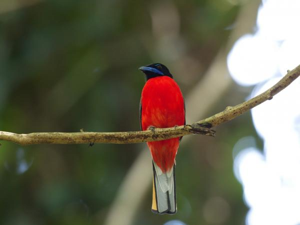 Scarlet-rumped Trogon - M. Hendry - Inala Nature Tours