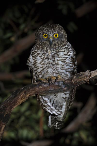 Ian Bool - Powerful Owl - Inala Nature Tours