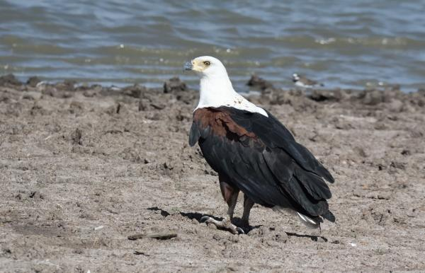 African Fish Eagle - W Wachira - Inala Nature Tours