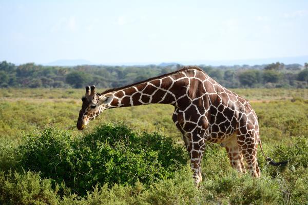 Reticulated Giraffe - W Wachira - Inala Nature Tours