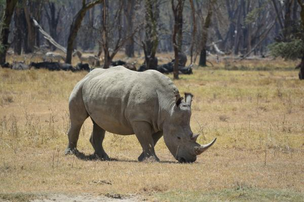 White Rhino - W Wachira - Inala Nature Tours