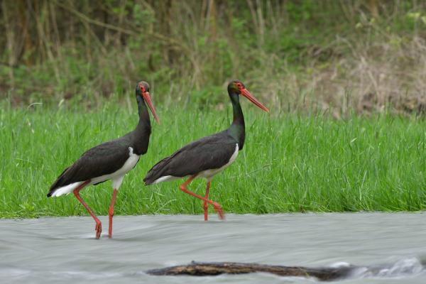 Black Stork - Eco Wildlife - Inala Nature Tours