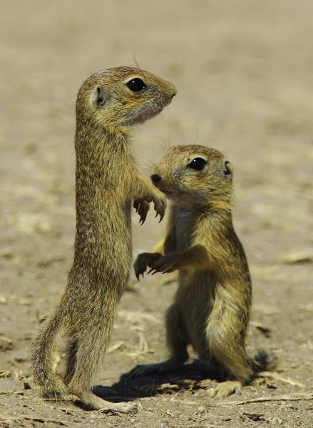 European Souslik or Ground Squirrel - Eco Wildlife - Inala Nature Tours