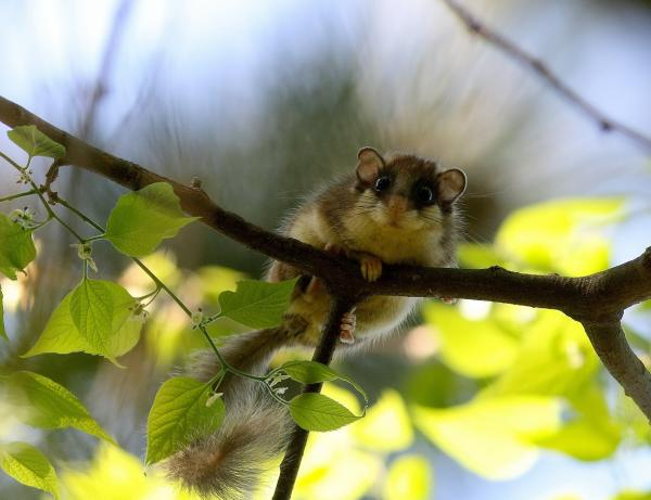 Forest Dormouse - Eco Wildlife - Inala Nature Tours