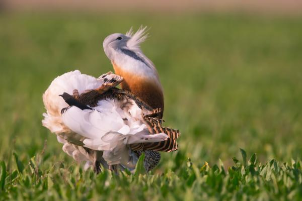 Great Bustard - Eco Wildlife - Inala Nature Tours