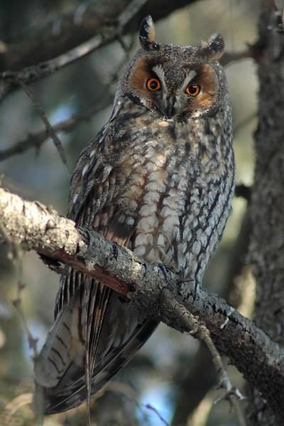 Long-eared Owl - Eco Wildlife - Inala Nature Tours