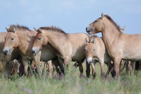 Przewalski's Horse - Eco Wildlife - Inala Nature Tours