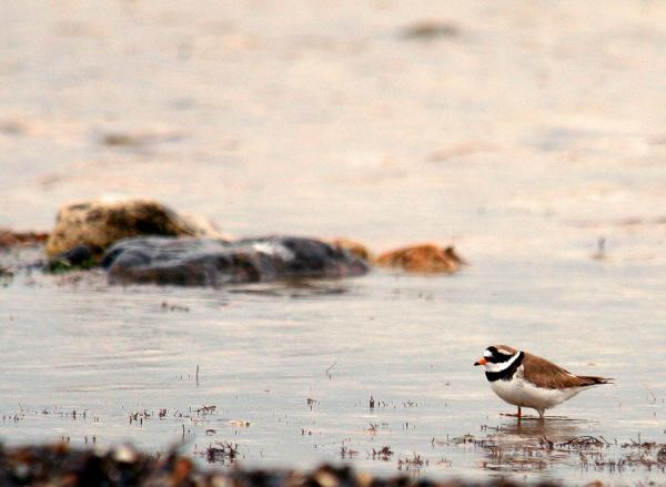 Common Ringed Plover - Peep Rook - Inala Nature Tours