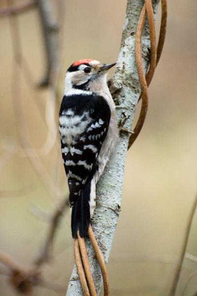 Lesser-spotted Woodpecker - Peep Rook - Inala Nature Tours