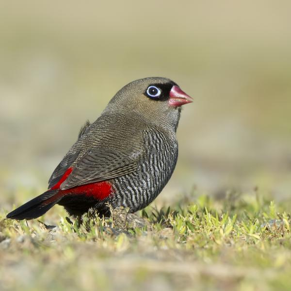 Beautiful Firetail - Craig Greer - Inala Nature Tours